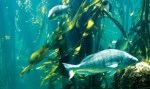 diving-at-the--ocean-basket-kelp-forest-exhibit-two-oceans-aquarium(2)