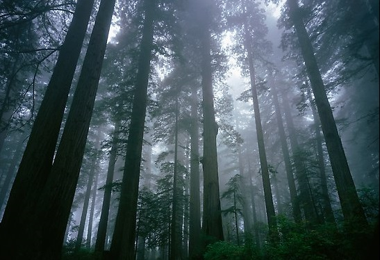 Tall coast redwood trees (Sequoia sempervirens) in fog, Lady Bird Johnson grove. Redwood National Park, California, USA.