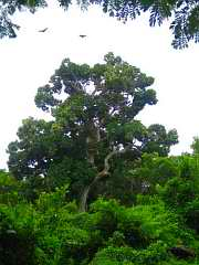 trees_naitauba