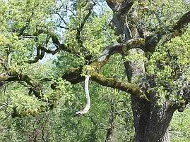 trees_oak_close