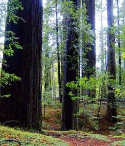 trees_redwoods_b1-257x300