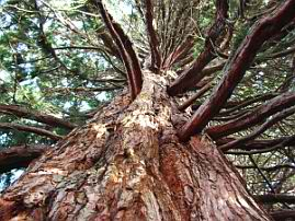 trees_sequoia