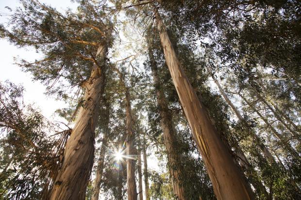 Eucalyptus-Trees-2-620x413