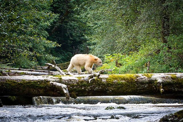 greatbearrainforest-edit