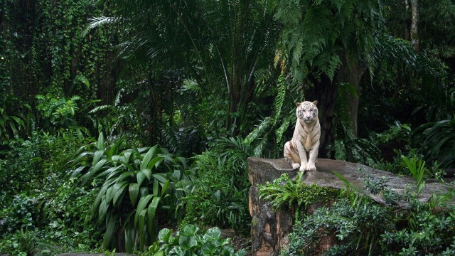 jungle-animals-tigers-white-tiger-1920x1080-hd-wallpaper2