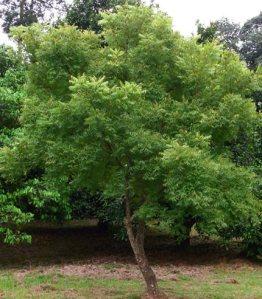 neem tree_1