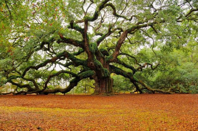 oak_tree